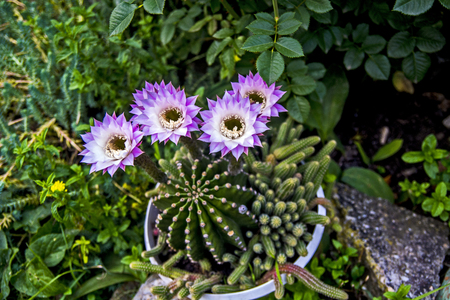 The beautiful blossomed cactus in the pots in the courtyard makes the decoration of the house. Standard-Bild