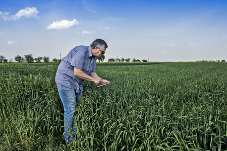 The agronomist or farmer in the wheat field controls the yield quality. Stok Fotoğraf