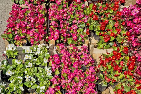 Begonias are exposed to market waiting customers. Stock fotó