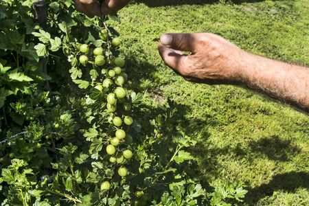 The owner controls the condition of Gooseberry in the garden in the spring.