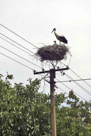 The stork resides and breeds young in a nest made by humans on a pole of electricity.