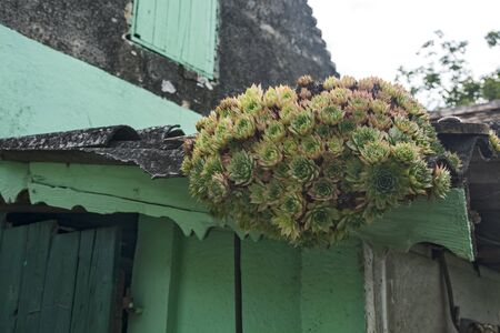 A plant called ordinary house leaf, which grows in many places and yards. People believe in its healing and protective properties. Often growing on rooftops or auxiliary facilities.