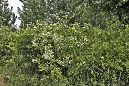 Meadow herbs and weeds that are lush and fresh as they grow in the riverside.