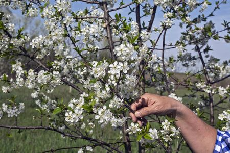 A farmer's hand that visually controls the quality of flowers in fruit.