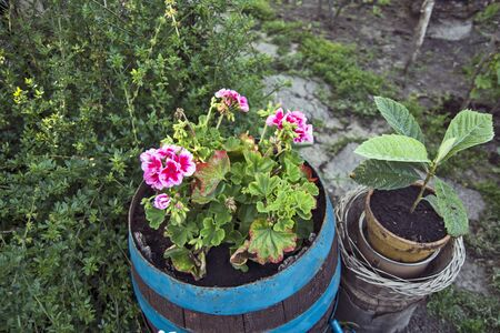 Beautiful, blooming and decorative Flowers geraniums that decorate the country house.