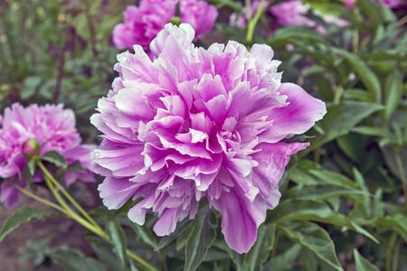Beautiful single pink peony flower in the spring sun. Banque d'images