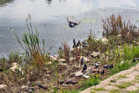 A group of pigeons is resting by the river. There is food and grain on the shore. Reklamní fotografie