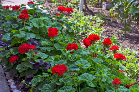 Beautiful blooming red pelargonium in the open yard. These flowers are the decoration of the garden. Stock Photo