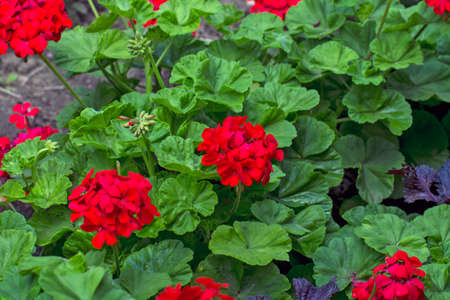 Beautiful blooming red pelargonium in the open yard. These flowers are the decoration of the garden. Banque d'images