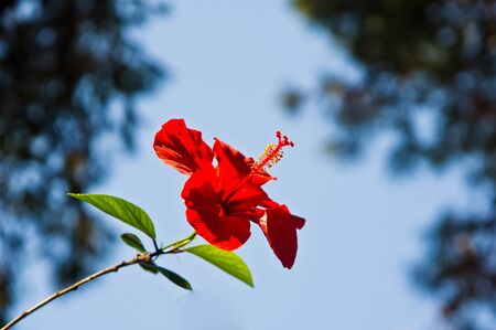Beautifull red hibiscus flower on a blue sky background Stock Photo