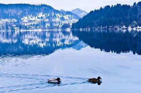 Ducks on lake Bled, Slovenian Alps Stock Photo
