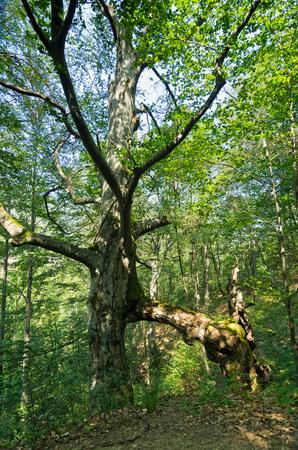 beech tree: Strange beech tree at Tara mountain and national park, west Serbia