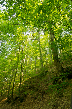 tara: Forest of Tara mountain and national part, west Serbia Stock Photo