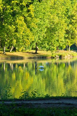 non urban 1: Swan on a small lake at late summer morning, Ada safari lake, Belgrade