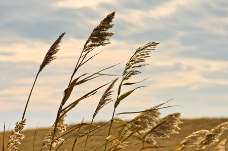 Prairie grass on a dry terrain against dark sky and rainy clouds, north Serbia