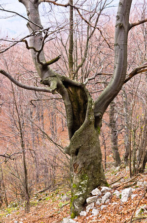 Spooky old beech tree in the middle of the mountain forest, east Serbia photo