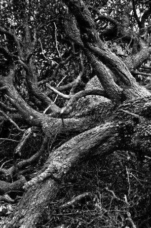 Old tree with huge maze of branches fallen to the ground at mountain forest, east Serbia photo