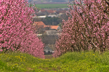 serbia landscape: Orchards blooming at early spring, near Danube river in Serbia
