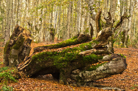 Autumn scene, log at forest opening with a lot of fallen leaves around, Radocelo mountain, central Serbia photo