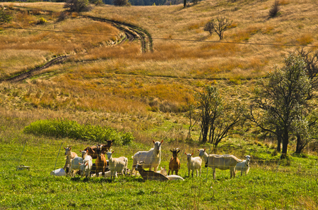 coutryside: Goats at autumn coutryside landscape on a sunny day, Cemerno mountain, central Serbia Stock Photo