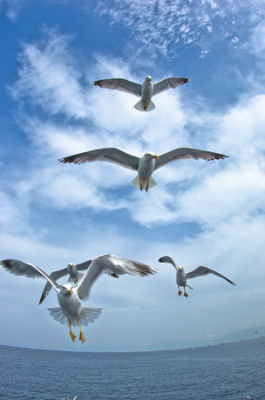 Seagulls in low flight over the sea near Thassos island in Greece photo