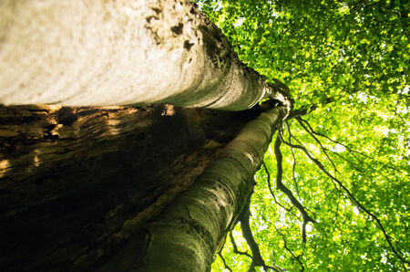 hollow tree: Under the big hollow tree at Zlot mountain, east Serbia