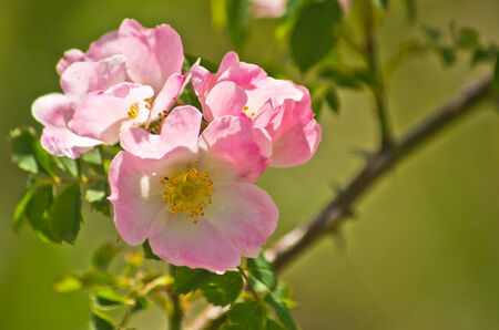 Wild rose flowers on a morning sunshine, Zlot mountain, east Serbia