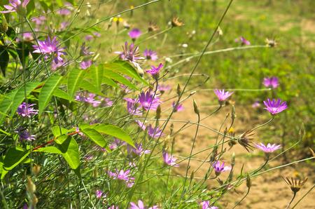 magenta flowers: Wild magenta flowers on sandy terrain near Danube river in Serbia