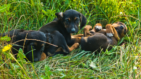 pupy: Three puppies playing in a grass at morning Stock Photo