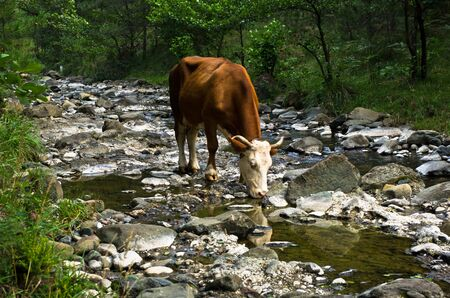 Cow is drinking water at rocky mountain stream, west Serbia