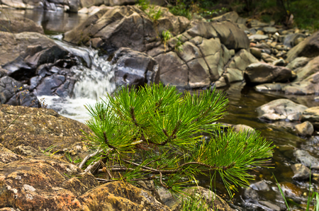 divcibare: Small fir branch and rocks in water at Black river gorge, west Serbia