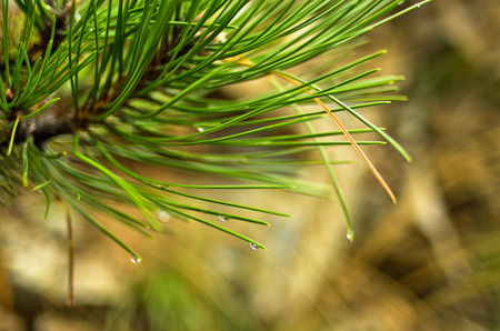 Close up of a fir branches with water droplets on a rainy day