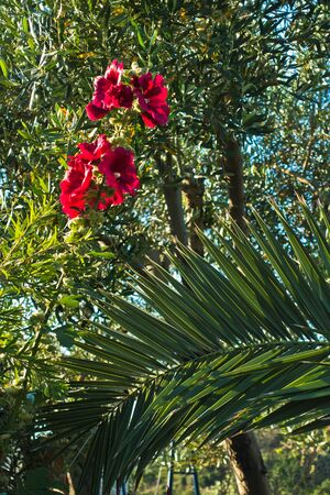 sithonia: Red mediterranean flowers on a morning sunshine in Sithonia, Greece