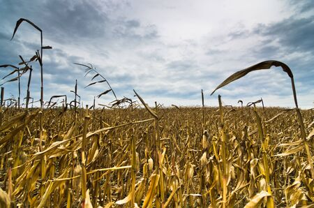 maiz: Harvested corn field before the storm at late autumn, north Serbia