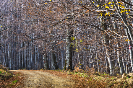 dense forest: Gravel country road through beautiful dense forest in late autumn, Homolje mountains, east Serbia