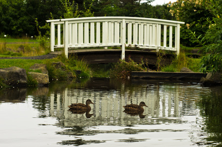 path to romance: Ducks swimming in front of little white bridge in a park