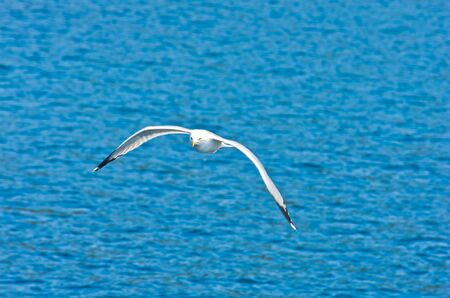 blue sea: Closeup of a seagull flying over Aegean sea near mountain Athos, Chalkidiki, Greece