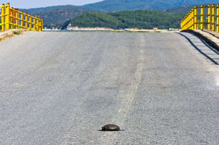 dangerously: Turtle dangerously crossing the road in front of a small yellow bridge, Sithonia, Greece