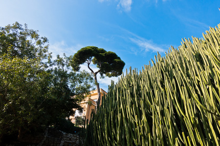 mediterranean forest: Cactus forest with typical mediterranean pine tree in background, Cagliari, Sardinia, Italy
