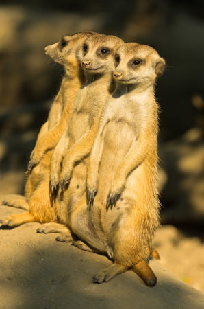 watchful: Three watchful meerkats standing guard at morning