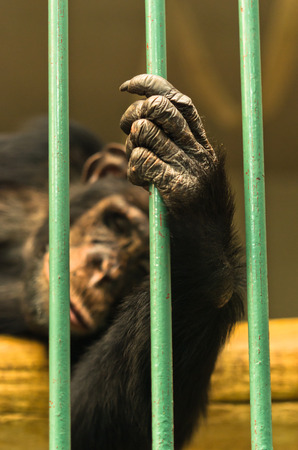heartbreaking: Hand of a chimpanzee monkey holding the green bar of his cage Stock Photo