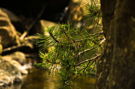 Small fir branches and rocks in water at Black river gorge, west Serbia