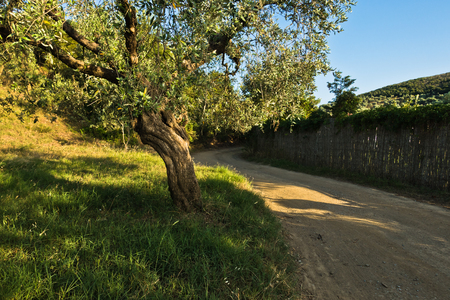 sithonia: Olive tree by a gravel country road in Sithonia, Greece