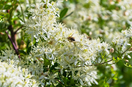 sithonia: Bee is collecting polen from a mediterranean plant with beautiful white flowers at sunny morning in Sithonia, Greece
