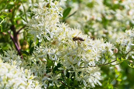 Bee is collecting polen from a mediterranean plant with beautiful white flowers at sunny morning in Sithonia, Greece