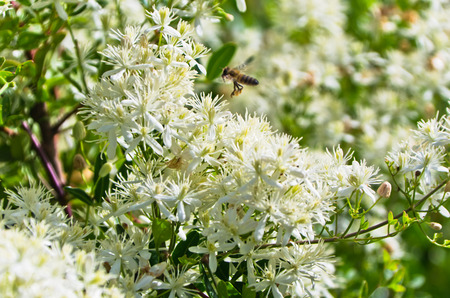 polen: Bee is collecting polen from a mediterranean plant with beautiful white flowers at sunny morning in Sithonia, Greece
