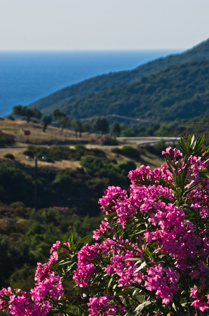 Purple flowers on morning sun by a coastal road in Sithonia, Greece
