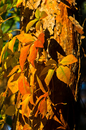 Detail of orange and yellow leaves on a sunny autumn day