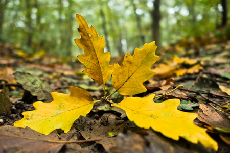Yellow fallen leaves on a forest path at autumn