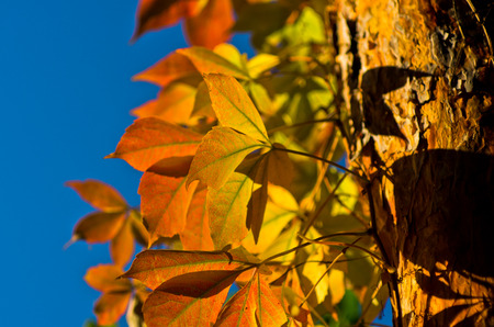 Detail of orange and yellow leaves on a tree against blue sky on a sunny autumn day Stock Photo